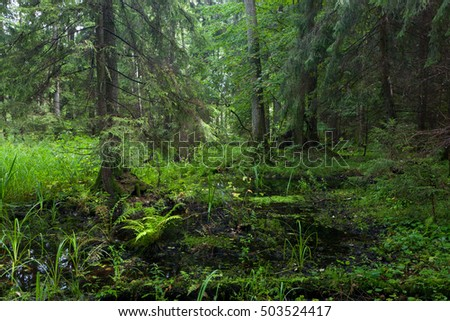 Rich riparian mixed stand  in morning,Bialowieza Forest,Poland,Europe