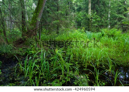 Rich riparian mixed stand of Bialowieza Forest in morning,Poland,Podlasie Province,Europe - stock photo