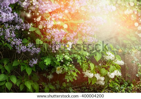 Richly blooming lilac bush. Lilac flowers in garden or park. - stock photo