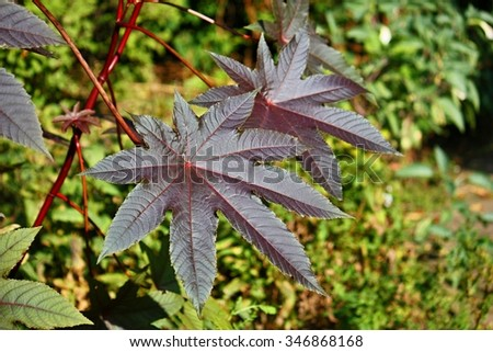 Ricinus communis, the castor oil plant, is a species of flowering plant in the spurge family, Euphorbiaceae - stock photo