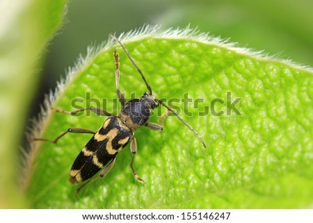 ridge tiger longicorn on green leaf in the wild
