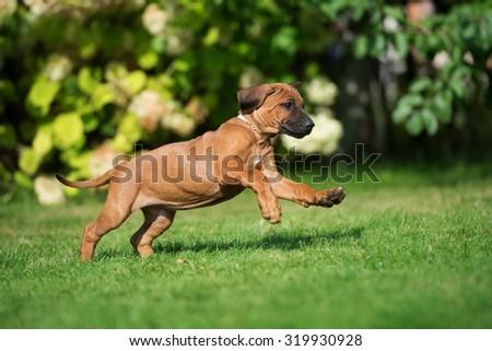 ridgeback puppy running outdoors - stock photo