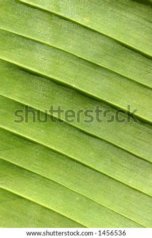 Ridged patterns on underside of a broad banana leaf - stock photo