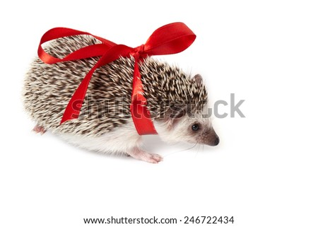 Ridiculous hedgehog wrapped with a red ribbon bow runs forward