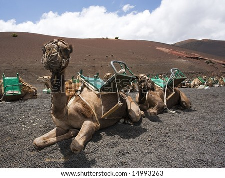 riding camels waiting in line for tourists at national park of Lanzarote - stock photo