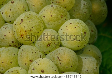 Riesling grapes ripening on the vine in the Umpqua Valley of Southern Oregon - stock photo