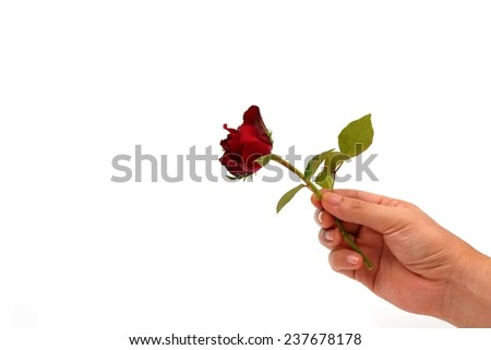 right hand holding beautiful rose  isolated on white