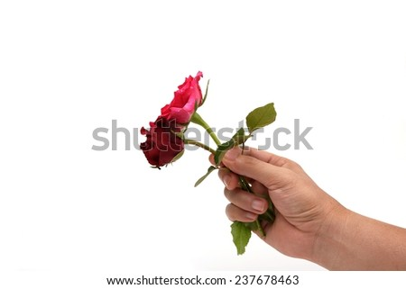 right hand holding beautiful rose on white