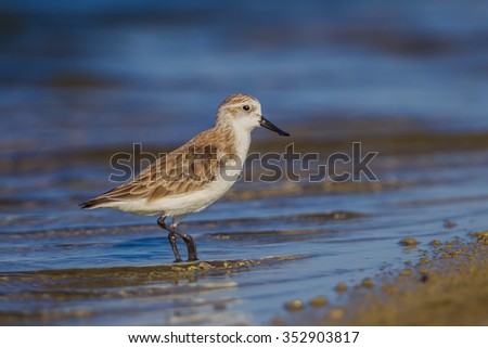 Right side close up of Spoon-billed sandpiper (Calidris pygmaea) who Critically Endangered status in Red list of IUCN in nature in Thailand