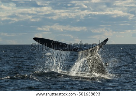 Right whale, Eubalaena Australis