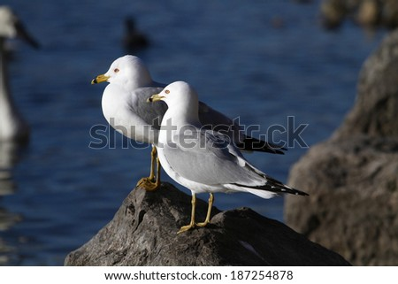 Ring-billed Gull - stock photo
