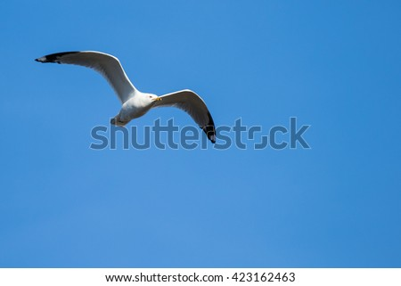 Ring-billed Gull - Larus dalawarensis, flying across a blue sky