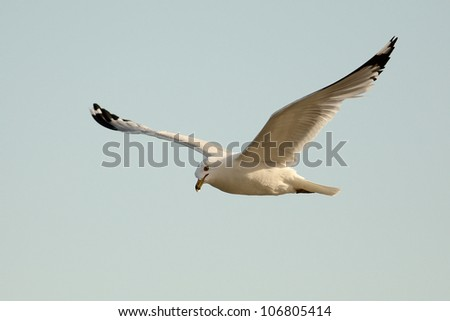 Ring-billed Gull (Larus delawarensis) Flying - Ontario