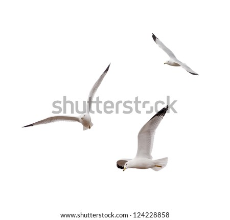 Ring-billed Gulls (Larus delawarensis) - stock photo