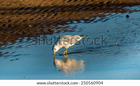 Ring Billed Seagull searching for food on a Chesapeake Bay beach in Maryland - stock photo