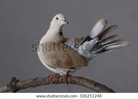 Ring-necked dove with feathers spread, perched on natural branch. - stock photo
