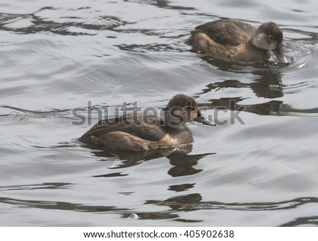 Ring-necked Ducks (juvenile)