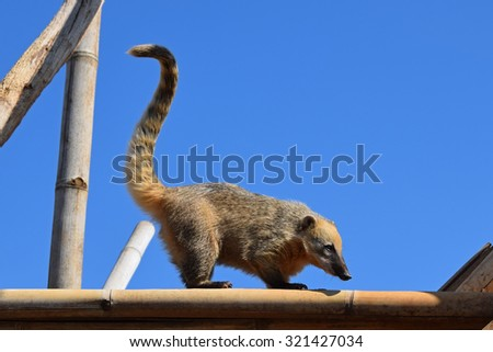 Ring tailed coati with long tail. Wild animal. - stock photo