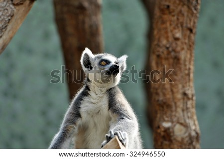 Ring-tailed lemur (catta) at zoo