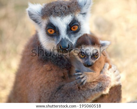Ring tailed lemur catta with baby - stock photo