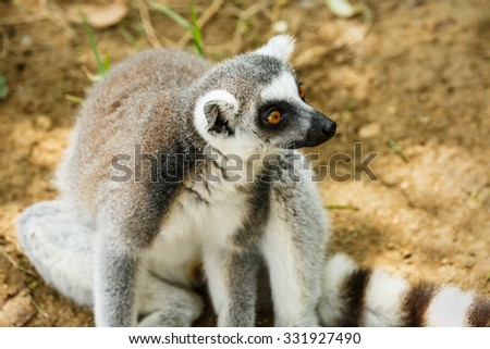 Ring-tailed lemur close up - stock photo
