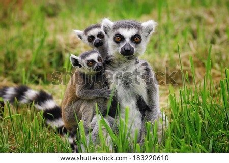 Ring tailed Lemur family - mother and babies - group shot - subjects in the center with green foliage in foreground and background  - stock photo