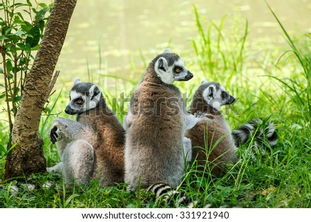 ring-tailed lemur family on the grass - stock photo