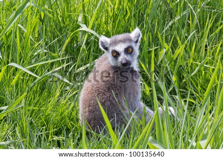 Ring-tailed Lemur from Madagascar in tall green grass