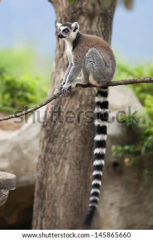 Ring-tailed lemur in a tree  - stock photo