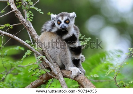 Ring-Tailed Lemur in a Tree - Madagascar - stock photo