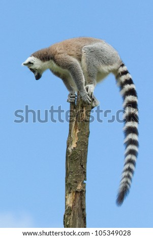 Ring-tailed lemur in a tree (zoo, Holland) - stock photo