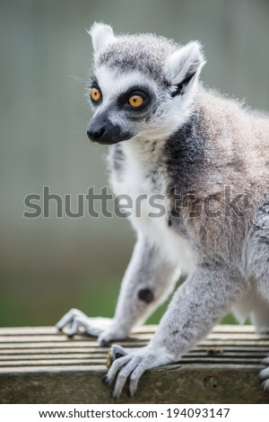 Ring tailed lemur in captivity