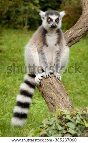 Ring-Tailed Lemur in the Prague Zoo, Czech Republic - stock photo