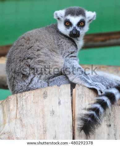 Ring-tailed lemur in zoo