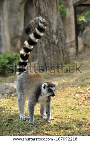Ring-tailed lemur is instantly recognisable due to its long, bushy, black-and-white ringed tail. - stock photo