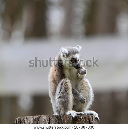 Ring tailed lemur (Lemur catta) - stock photo