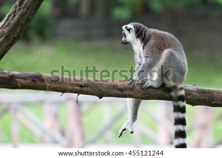 Ring-tailed Lemur (Lemur catta) at the khow keaw open Zoo, Thailand.