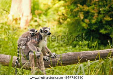 Ring-tailed lemur (Lemur catta) - baby with mother