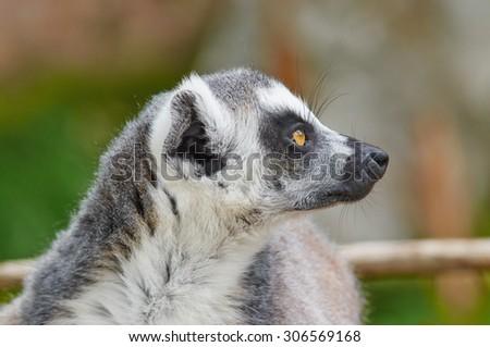 Ring-tailed lemur (Lemur catta) close up. - stock photo