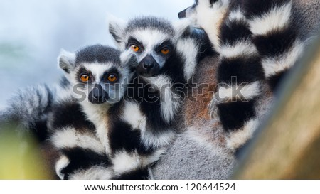 Ring-tailed lemur (Lemur catta) in a tree - stock photo