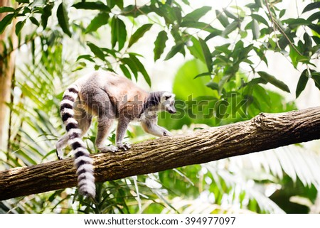 Ring-tailed lemur (Lemur catta) in nature