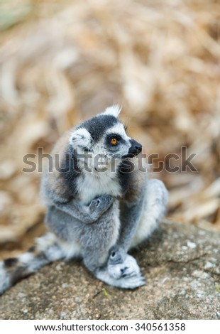 Ring-tailed Lemur (Lemur catta) looks out with big, bright orange eyes and watches from a branch in Madagascar.