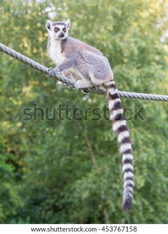 Ring-tailed lemur (Lemur catta) sitting on a rope - stock photo
