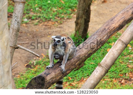 Ring - tailed lemur(Lemur catta) with cute family - stock photo