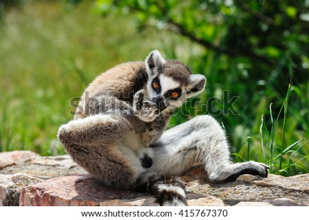Ring-tailed Lemur licks his leg - stock photo