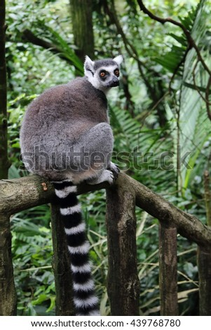 Ring-Tailed Lemur on a forest trail - stock photo