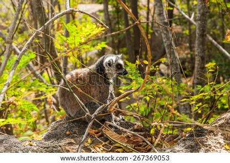 Ring-tailed lemur on a tree in Madagascar, Africa