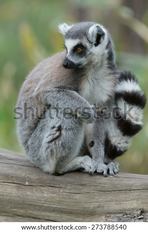 Ring-Tailed Lemur on large wooden log/Ring-Tailed Lemur/Ring-Tailed Lemur (lemur catta) - stock photo