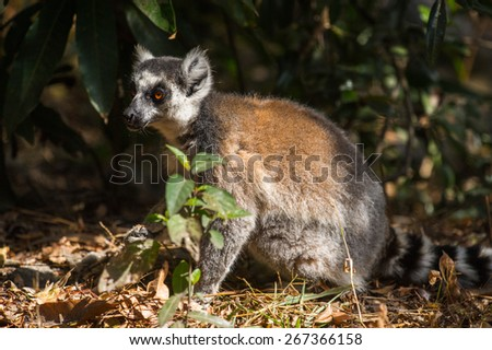 Ring-tailed lemur on the ground in Madagascar, Africa