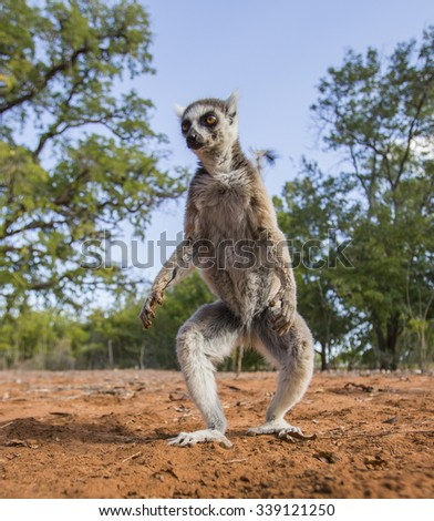 Ring-tailed lemur on the ground. Madagascar. An excellent illustration.